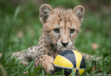 Deka the cheetah cub