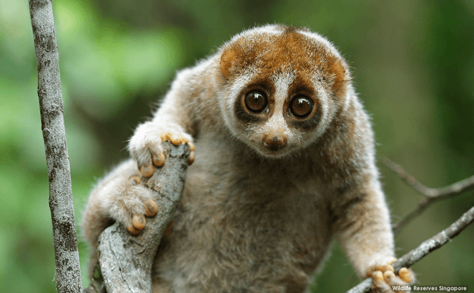 Night Safari Slow Loris