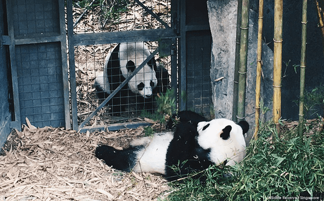 Kai Kai and Jia Jia starting to show interest in each other, heralding the start of mating season
