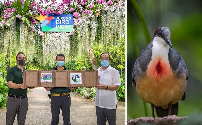 Luzon Bleeding-Hearts From Jurong Bird Park Fly Home To Philippines