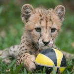 Deka the cheetah cub