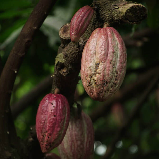 Cacao - World Chocolate Day