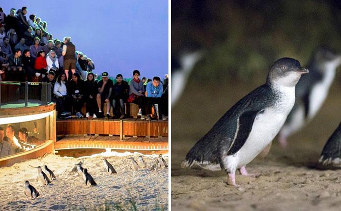 Phillip Island Penguin Parade Live Stream