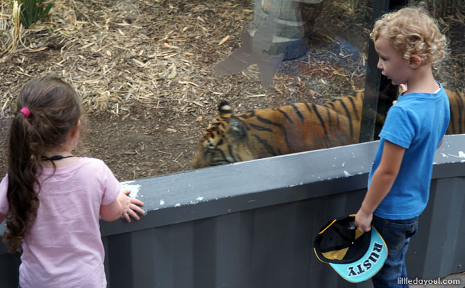 Press noses with a Sumatran tiger at the Melbourne Zoo.