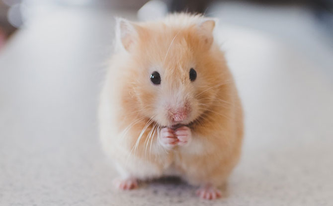 A Beginner's Guide To Caring For Hamsters: 7 Things You Need To Know