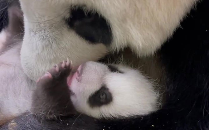 Baby Panda Opens His Eyes on Day 40