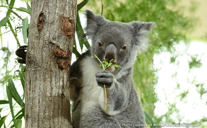 Koala Chan