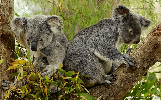 Koalamania
