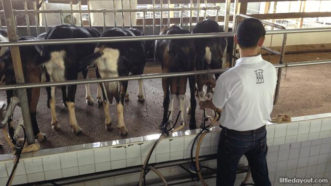 Milking Goats at Hay Dairies