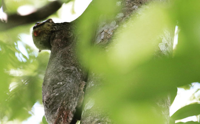 First-Ever Photo Record Of A Colugo Giving Birth Captured At Singapore Zoo