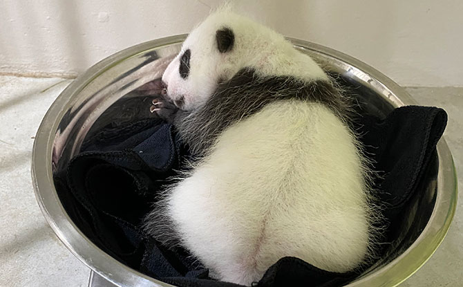 Singapore's Baby Panda Has Its First Weigh-In