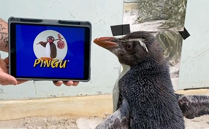 Pierre, Penguin In Perth, Is A Pingu Fan