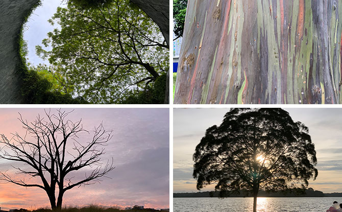 5 Iconic Trees in Singapore
