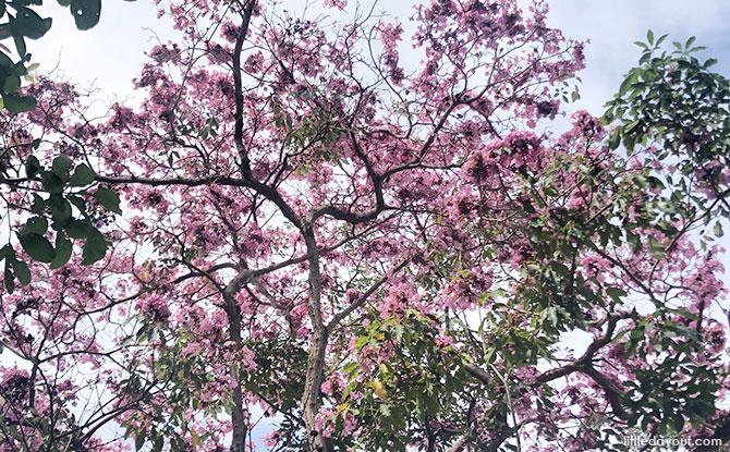 """Where To View Trumpet Trees & """"Sakura Pink"""