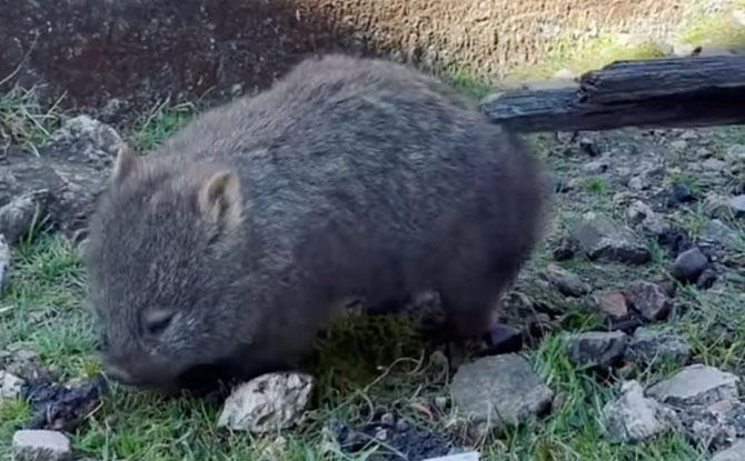 cute wombat
