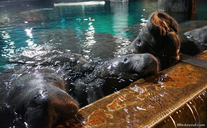 Meeting these lovable manatees was such a pleasure!