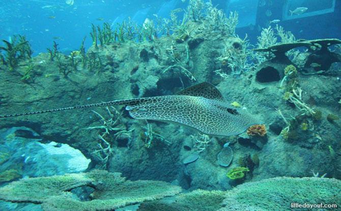 RWS SEA Aquarium Manta Ray