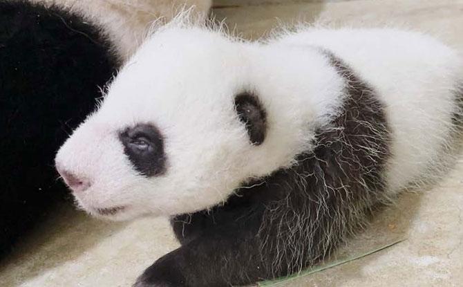 Singapore's Baby Panda Opens Its Eyes