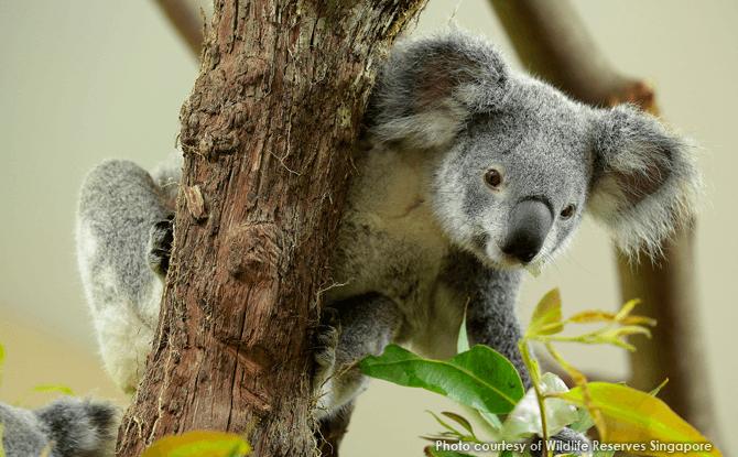 Koalas at Singapore Zoo