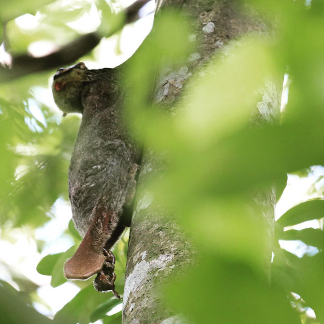 Photo Record Of Wild Colugo Giving Birth at Singapore Zoo's Grounds