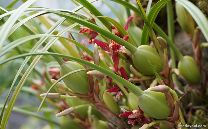 Coconut Orchids