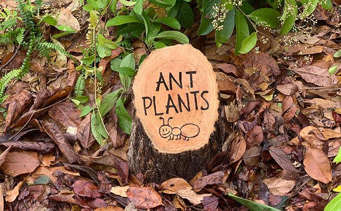 Ant Plants