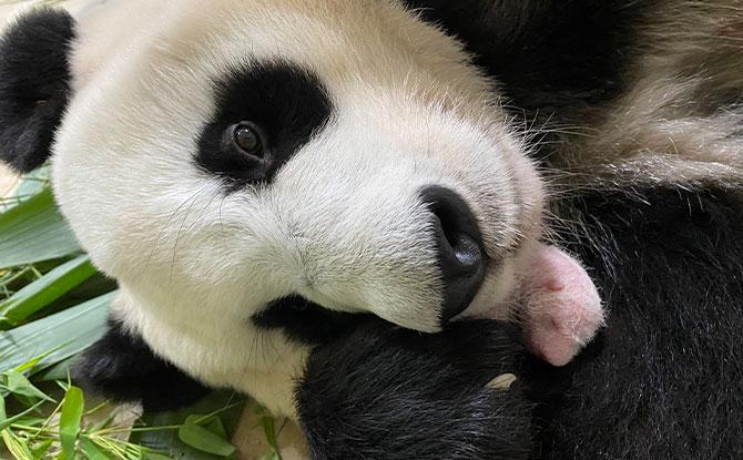 Milestones of the Baby Panda