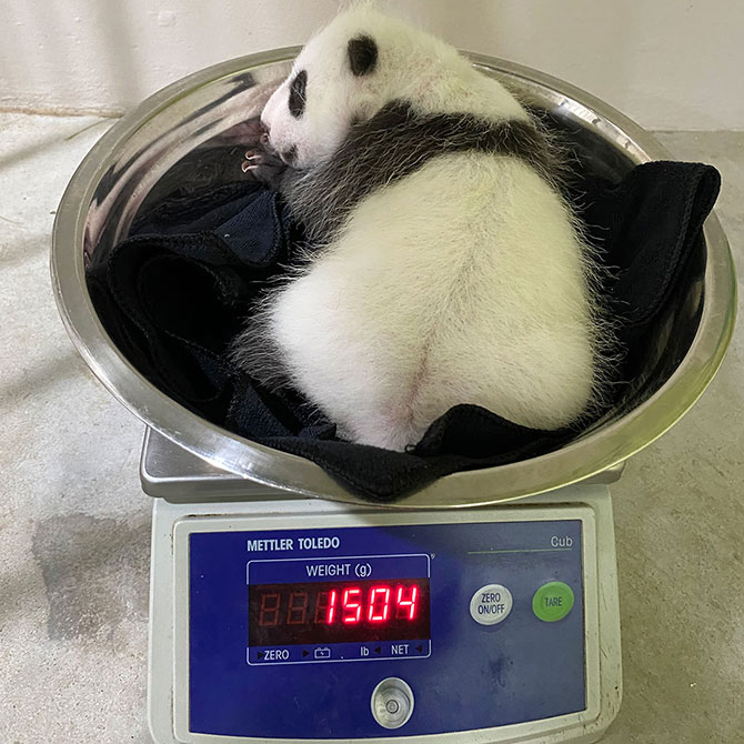Baby Panda Weigh-In
