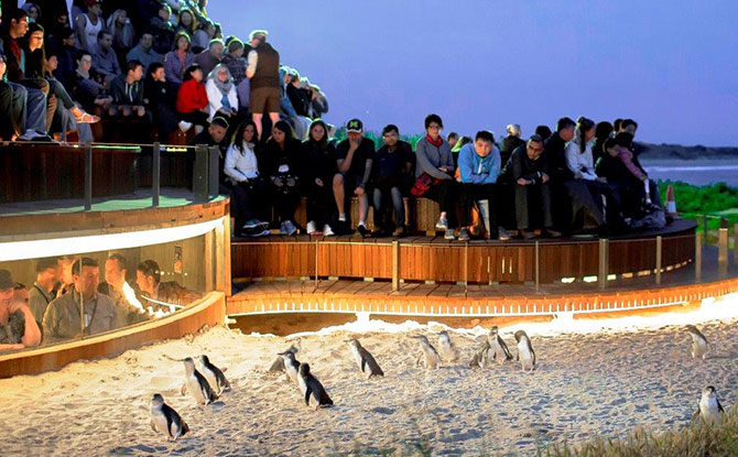 Watch Melbourne's Phillip Island Penguin Parade Live Stream From Home