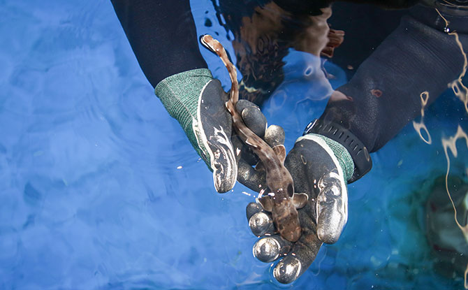 S.E.A. Aquarium - A baby epaulette shark