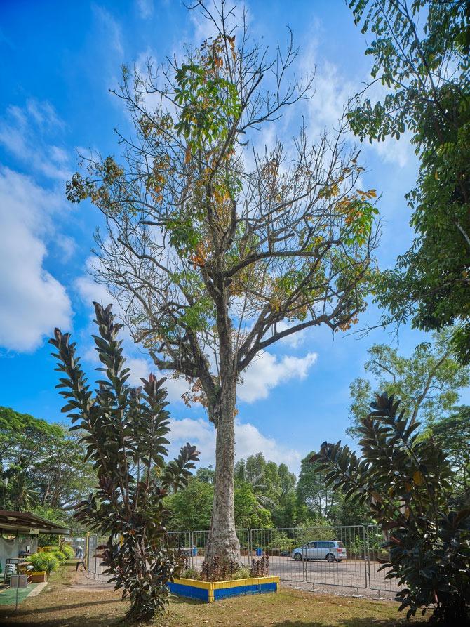The famous rubber tree on the grounds of Masjid Petempatan Melayu Sembawang