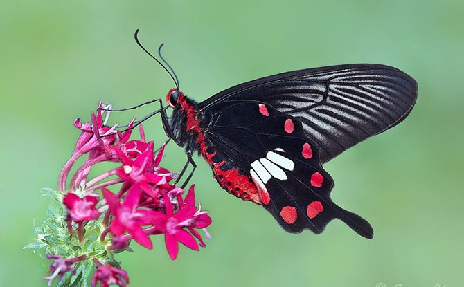 National Butterfly – The Common Rose