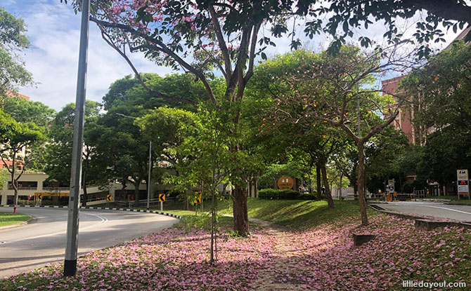 Where to find trumpet trees in Singapore, pink sakura flower spots