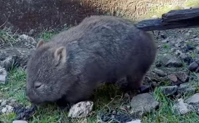 Cute Wombat Scratching Its Butt