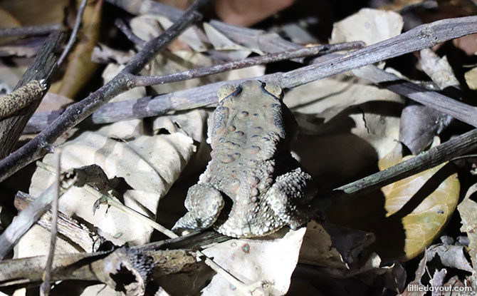 Little Night Outings: Nature Night Walks - Asian Toad