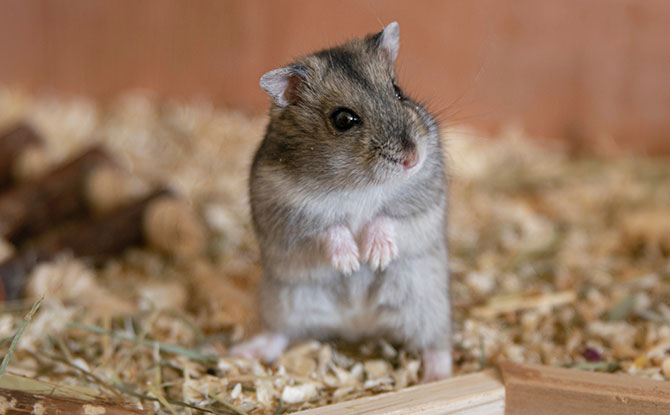 Hamsters are solitary animals - Caring for Hamsters