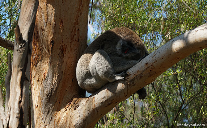 Phillip Island Koala Reserve