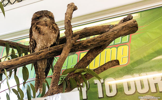 Gomez, the Papuan Frogmouth
