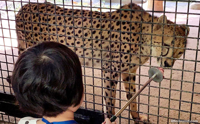 Feeding the Cheetah at the Circle of Life Festival, Singapore Zoo 2019