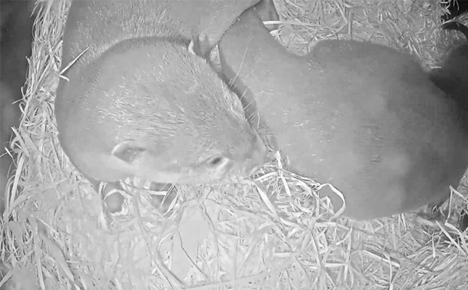 Melbourne Zoo baby otter live cam awake