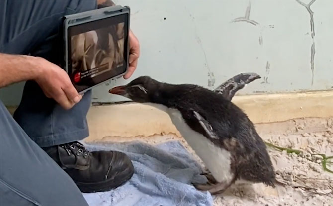 Rockhopper Penguin at Perth Zoo watching iPad