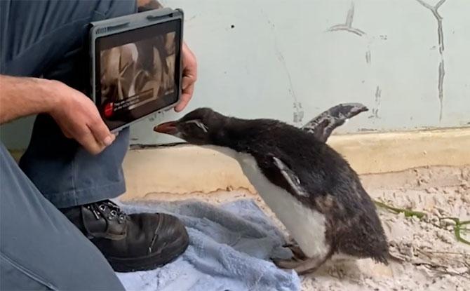 Rockhopper Penguin at Perth Zoo watching iPad
