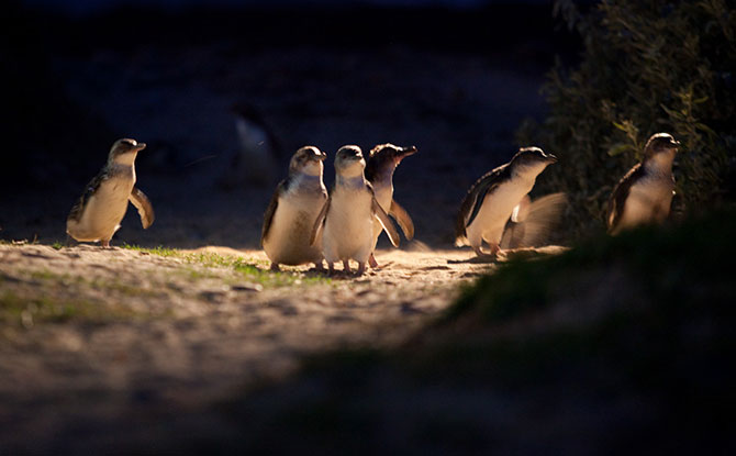 How to Watch the Phillip Island Penguin Parade Live Stream