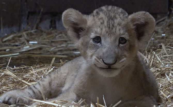 Singapore Zoo Welcomes First Lion Cub To Be Conceived By Assisted Reproduction