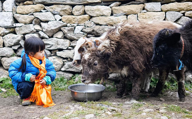 Little Chow's first encounter with a yak, enroute to Everest Base Camp, Nepal