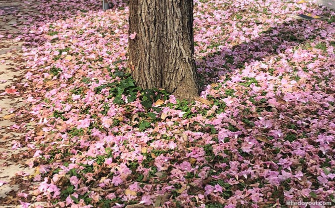 """Where to Find Trumpet Trees & """"Sakura Pink Flowers"""" in Singapore"""