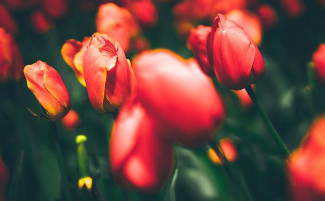 03 tulip