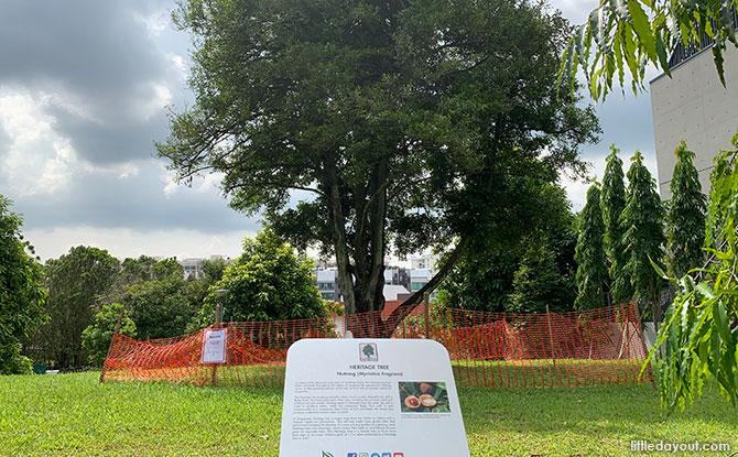 Nutmeg Tree - Heritage Tree at Victoria Park Playground