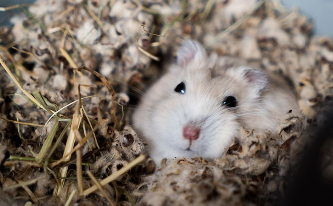 Hamsters need right bedding to burrow in - Hamster Care Tips