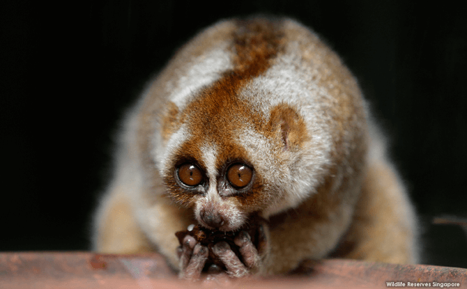 Night Safari Slow Loris - Night Safari Exhibits